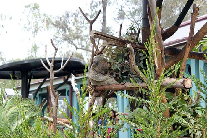 Uyuyan koala hayvanat bahçesi